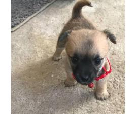 4 loveable cairn terrier puppies: 2 brown 2 black