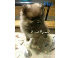 10 weeks old Orange Sable Pomeranian Puppy