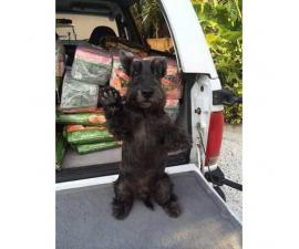 New litter of AKC Scottish Terrier puppies