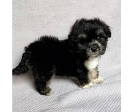 Teacup Maltese yorkie mixed morkie hypoallergenic puppies