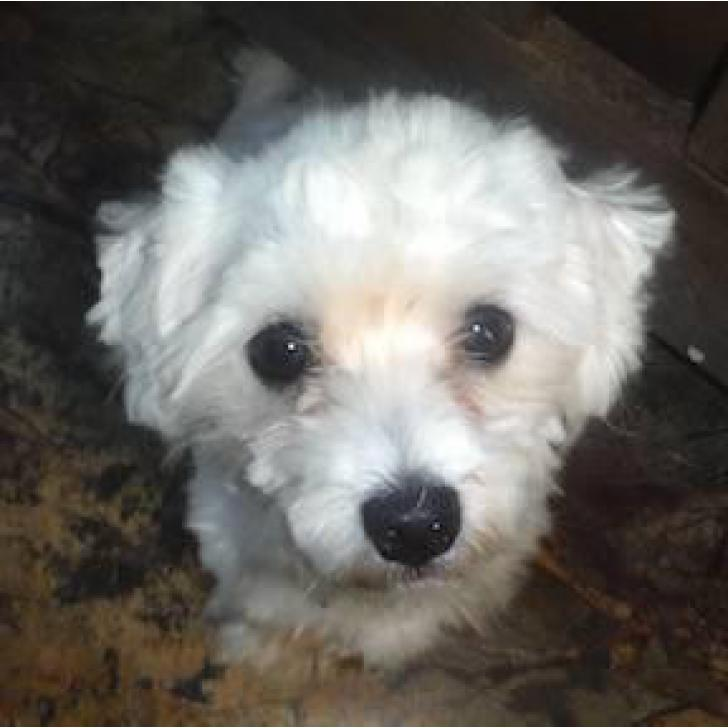 Maltese Shitzu Puppies - 4 Male Availables in North West South Africa