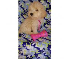Lovely tiny Maltipoo puppies for sale