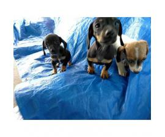Cute and friendly miniature Dachshund puppies