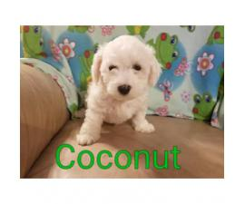 Registered Bichon Frise Puppies