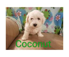 Registered Bichon Frise Puppies