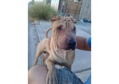 Adorable Shar Pei for sale