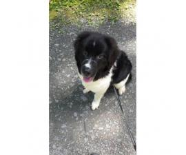 Newfoundland Female Pups for Sale