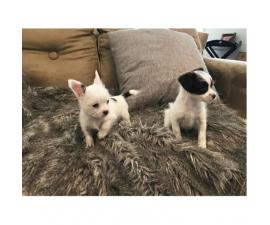 Chorkie puppies for adoption
