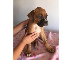 Boxer puppies purebred