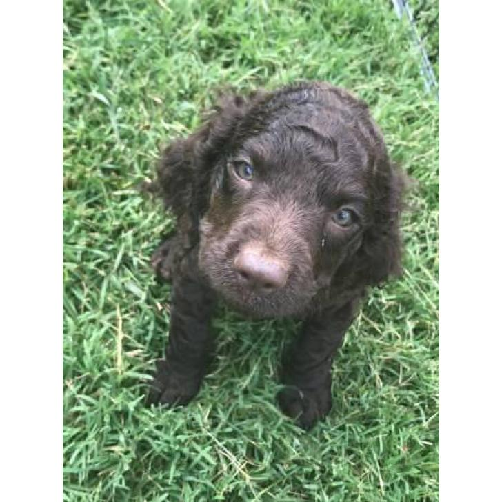 American Water Spaniel Puppies With All Paperwork In Columbus Ohio Puppies For Sale Near Me