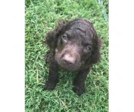American Water Spaniel Puppies with All paperwork