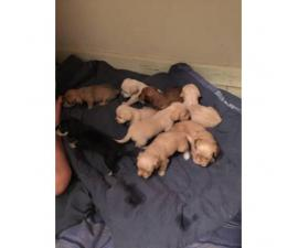 7 Schnoxie puppies for sale