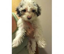 Maltipoo puppies to a good homes