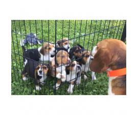 3 males and 3 females Purebred Beagle puppies
