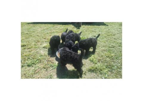 Standard Poodle puppies available to new homes