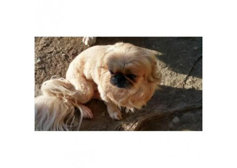Cream and Sables Pekingese Puppies for sale