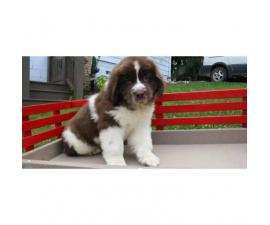 Newfoundland puppy for sale Comes from a family home