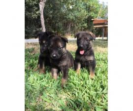 German Shepherd puppies - 4 males and 8 females