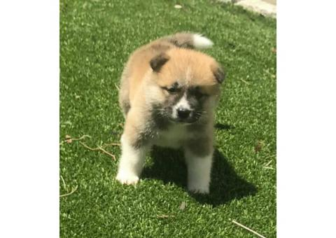 8 purebred Akita puppies for adoption
