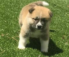 8 purebred Akita puppies for adoption