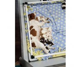 7 brittany puppies left