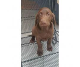 Beautiful chocolate lab puppies full blooded AKC registered available for sale.
