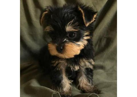 2 Month Old Male Yorkie Puppy.