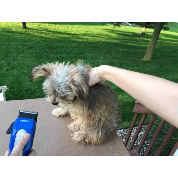 3 months old Shorkie Puppy in Eau Claire , Wisconsin