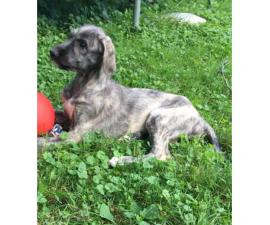 3 female Irish wolfhound puppies