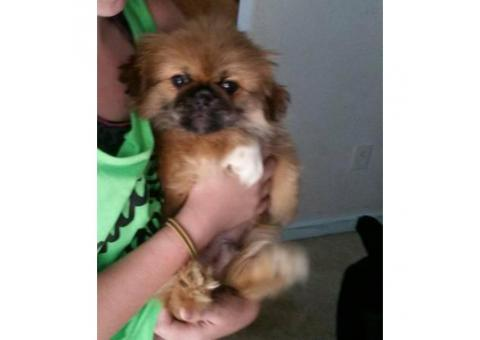 Purebred registered Pekingese Puppies 3 months old