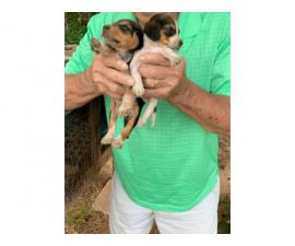 Male and female Registered Beagle puppies for sale
