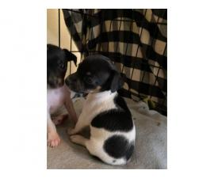2 female Jackhuahua puppies
