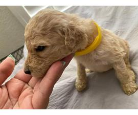 5 male Standard Poodle Puppies