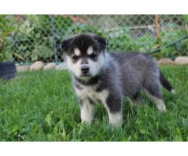 Cute and outstanding males and females siberian husky puppies