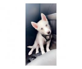Rehoming 3 months old husky puppy