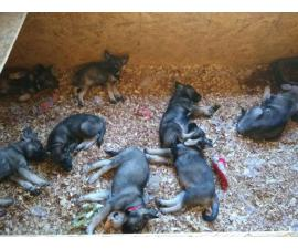 2 males and 2 females AKC Norwegian elkhound puppies