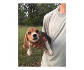 Six Beagle Puppies Available for Sale