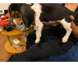 One pure Beagle puppy left