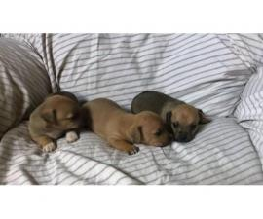 3 Cute little Rat-Cha Puppies