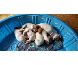 7 JRT Puppies for sale