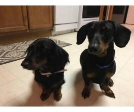 2 Black and tan Dachshund puppies all males