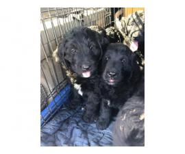 Family raised Newfypoo puppies looking for new homes