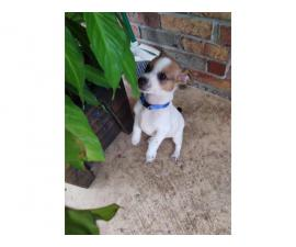 2 cute and playful rat terrier puppies available