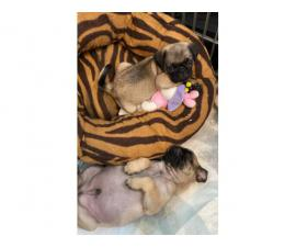 3 males pug puppy for adoption