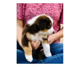 Little Lulu Australian Shepherd