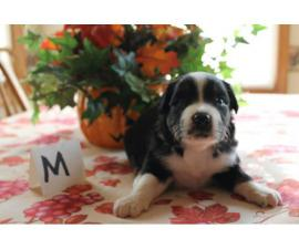 Males and females registered Aussie puppies