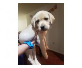 2 AKC Lab puppies for sale
