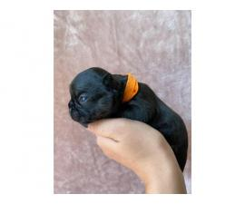 4 males 2 females French bulldog puppies available