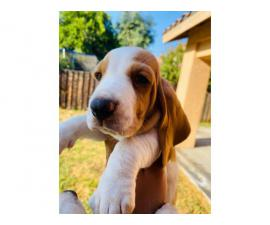 8 weeks old Playful Bassett Hound Puppies