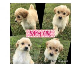 3 English Shepadoodle puppies left